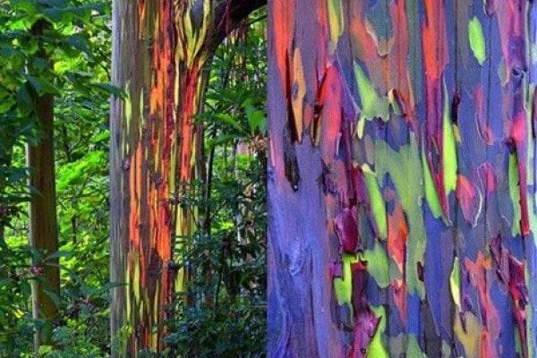 fenomena langkah pohon warna warni